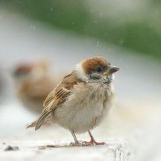 """biggate4444 on Twitter: """"6月くらいに撮った写真です。 すっかり忘れていてお蔵入りになりそうでした、危なかったぁ。。 #スズメ #すずめ #雀 #スズメ観測 #ちゅん活 #ふぉと #写真撮ってる人と繋がりたい #写真好きな人と繋がりたい #ファインダー越しの私の世界 #鳥の魅力を伝えたい #sparrow https://t.co/1PBBOL9YS1"""""""