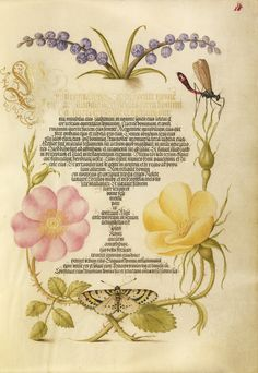 Grape Hyacinth, Wasplike Insect, Eglantine, Austrian Brier, and Magpie Moth - Joris Hoefnagel  (Flemish / Hungarian, 1542 - 1600) and Georg Bocskay (Hungarian, died 1575)