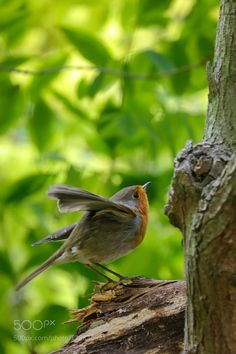 European robin by FrancisVlb via http://ift.tt/2eBYv8i