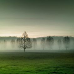 field of trees in the mist