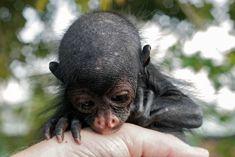 Kwata, le singe araignée : Le primate acrobate | Une Saison en Guyane