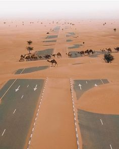 "peterfromtexas: "" Camels crossing the highway in UAE desert """