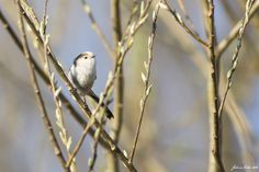 long-tailed tit by Federico Pribaz on 500px
