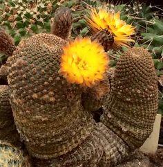 Reicheocactus (lobivia) pseudoreicheanus (famatimensis)