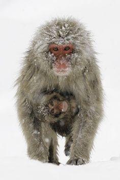 Snow monkey and baby by Jigokudani Yaen-koen Primates, Animals Images, Animal Pictures, Beautiful Creatures, Animals Beautiful, Baby Animals, Cute Animals, Interesting Animals, Mundo Animal