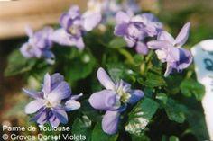 Parme de Toulouse Violet.  Fragrant. Double, mid-lavender flowers. A good disease resistant form with a long flowering period. Ideal for cut flowers. £3.75