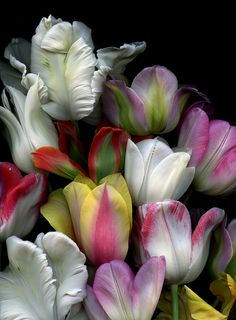 Tulipa by horticultural art