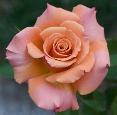 Beautiful Rose ~~J Beautiful Rose Flowers, Love Rose, Flowers Nature, My Flower, Flower Art, Beautiful Flowers, Flower Ideas, Orange Roses, Pink Roses