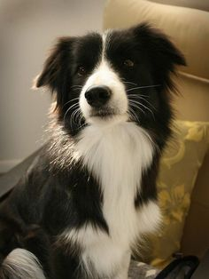 The 5 smartest dog breeds ~ The Pet's Planet. Looks like the border collie I had growing up.