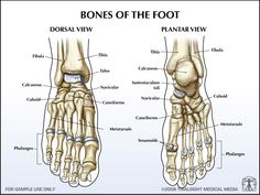 human leg and foot skeleton image Foot Anatomy, Human Body Anatomy, Muscle Anatomy, Foot Skeleton, Anatomy Images, Human Leg, Skeletal System, Medical Illustration, Physiology