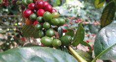 Keby turisti vedeli, že na Slovensku vyrábame špičkové kávy, chodili by k nám častejšie | Slovenský turizmus