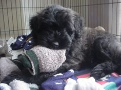 Bouvier des Flandres puppy, two months old
