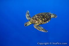 Image result for sea turtle images