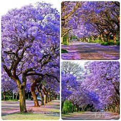 My favorite tree!  Jacarandas