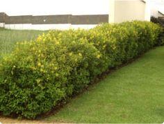 Trialis - Arquivo de Plantas - Spagnhol Plantas Ornamentais