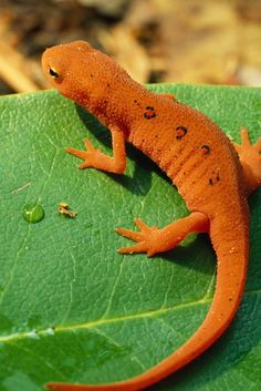 """Newts are closely related to salamanders but undergo an extra stage of development. Newt tadpoles develop into land-dwelling juveniles called """"efts."""" The efts live on land for several years and then change into adults that go back to living in the water. This red eft will ultimately turn dark olive in color and grow a broad, flat tail that is good for swimming."""