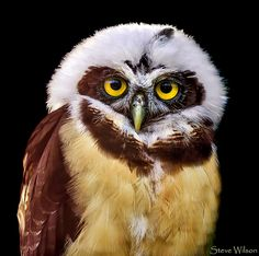 Beautiful young Spectacled Owl