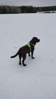 #Chocolabb #brownlabb #finnishwinter #finnishnature Brown Labrador, Dogs, Animals, Animales, Animaux, Pet Dogs, Doggies, Animal, Animais