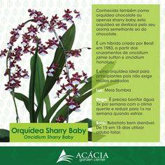 Sharry Baby, como cuidar da orquídea que exala aroma de chocolate! | Blog Jardinices