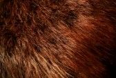 Beaver: Natural (long-haired) beaver has long, glossy fur in subtle silvery on brown tones. The soft, velvety, short nap of plucked and sheared beaver is also a favorite with designers who create elaborate effects in varying colors and textures with this remarkably versatile and durable fur.