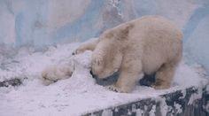 Белая медведица и медвежонок прорывают туннель в снегу, чтобы добраться друг до друга