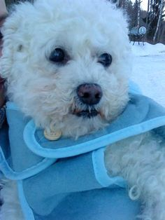 Dennis (Bichon)  lived for 12 years. The cutest and funniest dog ever :)