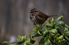 https://flic.kr/p/238tpD2 | Song Sparrow on the Winter Daphne