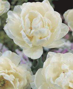 ~Tulip Mount Tacoma - Peony Flowering - Tulips - Flower Bulbs Index