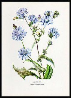 Chicory Botanical Flower Print 1954 Edith F. Johnston Artist