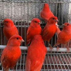 Exotic Birds, Colorful Birds, Pretty Birds, Beautiful Birds, Zebra Finch, Canary Birds, Animal Magic, Coq, Fauna