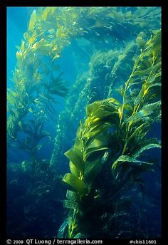 Underwater view of kelp canopy. Channel Islands National Park, California, USA.