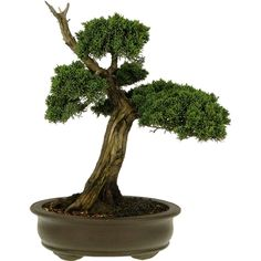 Bonsai Shimpaku 27 anos - Ideal Bonsai