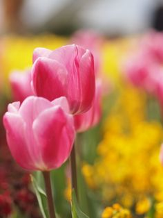 I love me some tulips. Unfortunately, so do the deer that live in the vicinity.