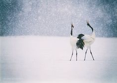 red crowned cranes photography,original japanese crane print bird photo animal picture courtship dance wall art couple print love décor by KaleidoscopesPHOTO2 on Etsy