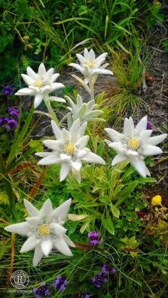 floare de colt din Masivul Ceahlau