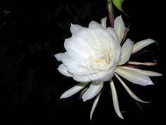 Queen of the Night (Brahma Kamalam) in our Backyard