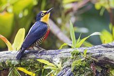 Benedito-de-testa-amarela (Melanerpes flavifrons) (by Jose Augusto Rondon Ribeiro)