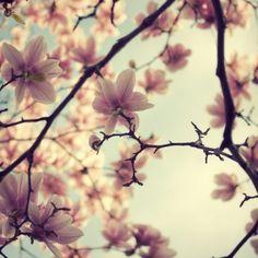 Frühling Foto, Magnolia Baum Blume blüht, Pastel, Rosa und blau, Feminine, Muttertag - ein bisschen flirten