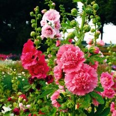 Shop for Hollyhock Seeds by the Packet or in Bulk.Com offers the Finest and Freshest Hollyhock Flower Seeds Anywhere. Planting Bulbs, Planting Seeds, Planting Flowers, Hollyhocks Flowers, Zinnias, Fall Plants, Garden Plants, Bonsai, Flower Seeds Online