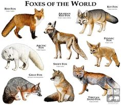 Foxes of the World....ROGER D HALL.....a scientific illustrator specializing in wildlife and architectural subjects....predominantly self-taught....works with pen and ink....artwork has appeared in numerous media (newspaper, books, website, etc)....a Minnesota native now based in Oakland, California....associated with several zoos and aquariums in the US