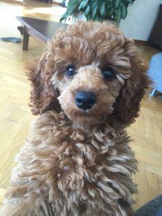 My red Poodle : Eris