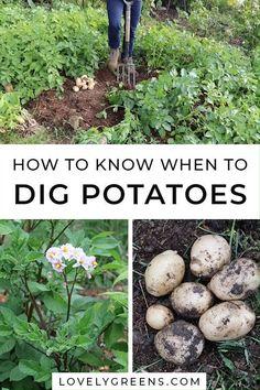 How to know when to dig up potatoes#dig #potatoes Potato Gardening, Organic Gardening, Vegetable Gardening, Planting Potatoes, How To Plant Potatoes, Growing Sweet Potatoes, Veggie Gardens, Container Gardening Vegetables, Urban Gardening