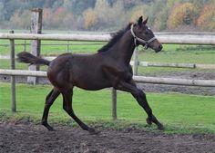 Paarden te koop: Karamel Z