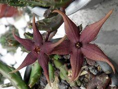 Stapelia sohineil y stapelia schinzii angolensis
