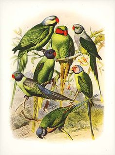 Antique print: picture of Parrakeets (Grey-headed, Red-cheeked, Malabar, - Black-headed and Rosy)