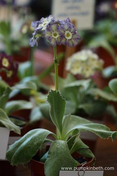 Colin Humphrey was awarded third prize for this lovely example of Primula auricula 'Betty Wilson', at The National Auricula and Primula Society Southern Section Auricula Show. Primula Auricula, Theatres, Flower Petals, Beautiful Flowers, Third, Southern, Pumpkin, Leaves, Plants
