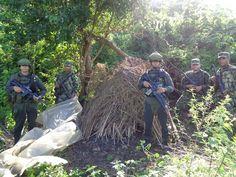 Destruyen $186 millones de marihuana en Cerro Azul - Hoy es Noticia