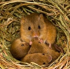The Tiny World of the Eurasian Harvest Mouse