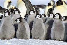 A waddle of penguin chicks