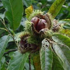 Another source for chestnuts (American!), from New Forest Farm.  (Other fruit, nut, and nitrogen-fixing trees, too.)